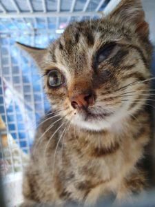 Gefundenes katzenbaby mit eitrigen und geschwollenen Augen